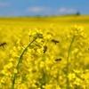 Australia-EU trade negotiations is good news for Canola Growers