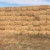 Header Trail Barley Straw For Sale in 8x4x3's done with Krone 8 String baler 500-600Kgs