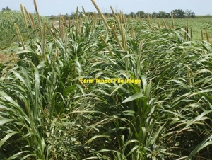 55 x USDA NOP Certified Organic Millet Hay 4x4 Bale