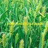 Forage Barley Seed For Sale,