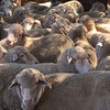 Joined Merino Ewes For Sale Joined to Poll Dorset Rams