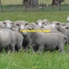 Agistment Wanted for 4500 Sheep in Wimmera/Mallee or Western District