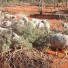 Using Scrub as a Livestock Feed - By Alastair Rayner