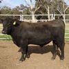 Angus Registered Bulls  - MUNMURRA ANGUS