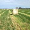 Shaftal Clover/Rye Hay in 4.5ft x 4 ft Rolls 50-50 Mix