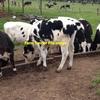 Friesian Steers