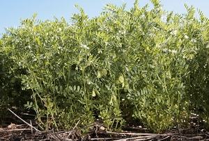 Lentils gaining in popularity
