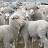 Mecardo Analysis - Mutton firms despite elevated supply