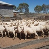 Approx 50 Dohne 2-5yo Mixed age Ewes