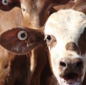 NSW Farmer fined for NLIS breach
