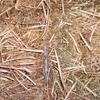 Vetch Hay, Good feed test