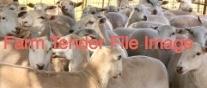 Ewe Lambs ( 2017Drop ) x 200 Head