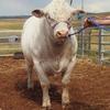 Stud Bred Charolais Bulls - For Sale