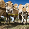 wanted dairy cows or heifers