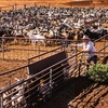 Australian Live Goat Exports are declining