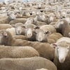 Strong Sheep market in Ballarat this week