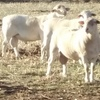 White Faced  Dorper Rams 18 Months Old x 3