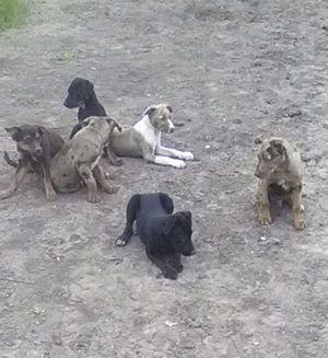 Working Dog Pups For Sale