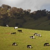 Wanted Dairy Cows, Bulls & Steers - for competivve hook price