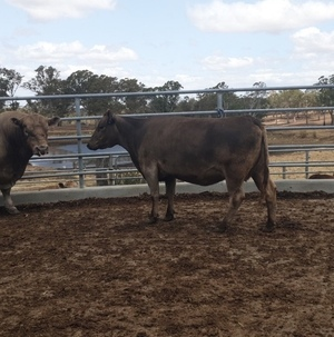 Registered square meater cow in calf