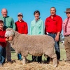 Lachlan Merinos Average $3294 for 137 sold