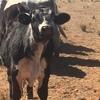 Speckle Park Weaner Bull