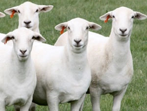 Sheep Producers Australia is the new peak body for Sheep and Lamb Industry