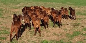 Kalahari  Red Bucks