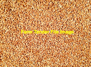 125mt Red Wheat For Sale Ex Farm