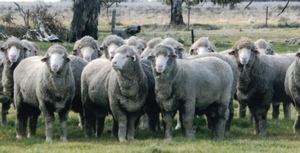 Willandra Poll Ram makes $12,000