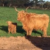Highland Cattle - Bulls and Heifers