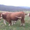 SIMMENTAL BULL POLLED QUIET