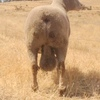 SOUTHDOWN RAMS and Ewes for sale,Top quality &  Bloodlines - Free Delivery