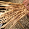 900 Bales New Season Windrowed Oaten Straw For Sale in 8x4x3's