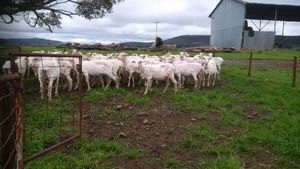 63 DOHNE EWES, 5 YEARS, IN LAMB TO W/S RAMS, TO LAMB 3/11/16.