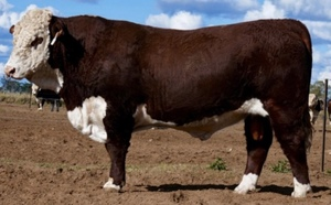 $22,000 top at Wallan Creek Hereford