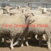 1700 SIL Ewe Lambs White Suffolk Merino X