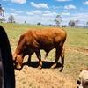 Red brangus bull