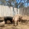 Piglets x 2