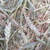 Beardless Wheaten Rolls - 50 x 400 KG Approx Rolls & Shedded
