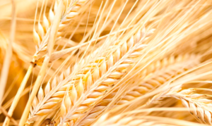 Domestic Livestock Feed Markets the key to Grain Prices -  Rural Bank Outlook 2019