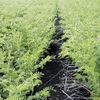 Creating a more frost resistant Chickpea