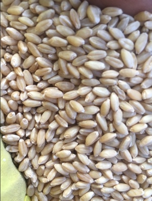 Graded Seed Wheat( West Wyalong )