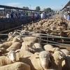 Fluctuating market for Lambs at Wagga Wagga
