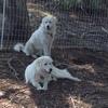 Maremma Purebred Fully Trained Guardian Dog