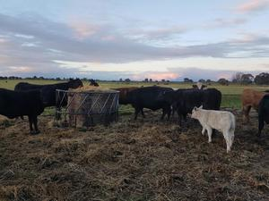 Pick of 15 Cows and Calves up to 2 mths