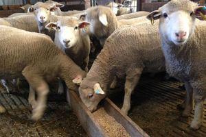 Sheep Pellets