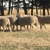 Border Leicester  Stud Rams For Sale