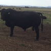 Registered Brangus Bulls-Top Genetics - Dont Miss Out on your opportunity to improve your herd genetics
