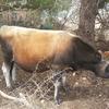 jersey bull calves for sale